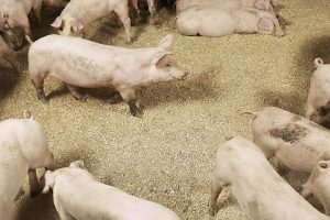 Afrikansk svinpest har konstaterats i Kina