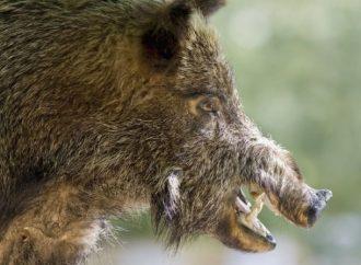 Målet – stoppa afrikansk svinpest från att nå Sverige