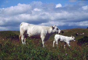Nötkreatur ökade – mjölkkor minskade