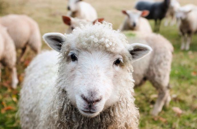 Kurs i djurhälsa för får och nöt