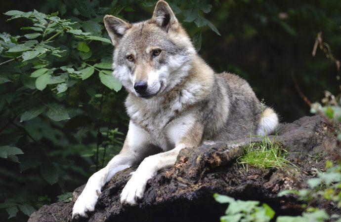 Kolmården väljer bort vargar