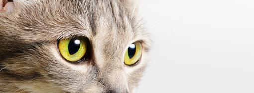 Urin från katt kan användas för mätning av stresshormoner