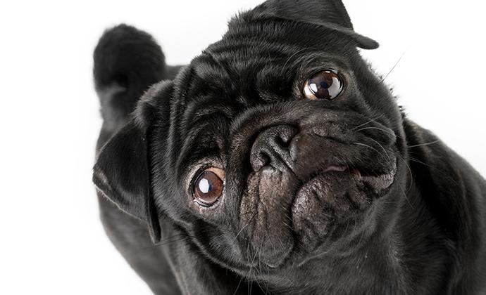 Ny webbplats om trubbnosiga hundar