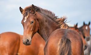 Symptomfria unghästar kan vara smittade med kvarka