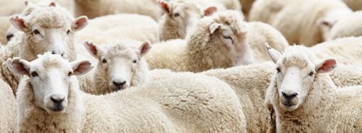Ny klövsjukdom diagnostiserad på svenska får