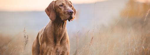 Utvärdering av ny markör för nedsatt njurfunktion hos hund