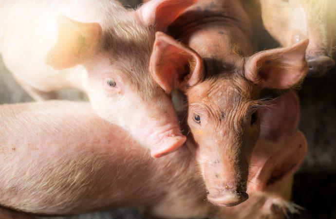 Svansbitning hos gris sänktes till en femtedel med svensk standard