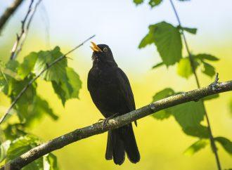 SVA:s fågelprojekt upptäckte virus