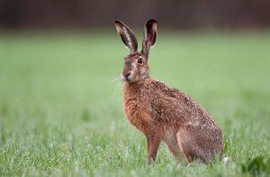 Hög risk att drabbas av harpest vid årets jakt på hare