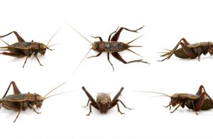 Insekter odlas för att bli människomat