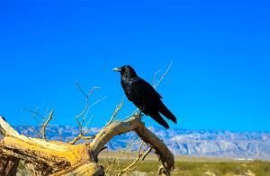 Svenska kråkfåglar bär ofta på campylobacter