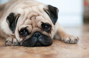 Replik till SKK angående nederländskt beslut om avel av trubbnosiga hundar