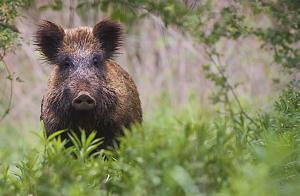 Övervakningen av viltsjukdomar i Sverige trappas upp