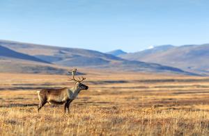 Nytt fall av CWD på vildren i Norge
