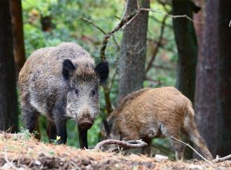 Afrikansk svinpest hos vildsvin i Tyskland