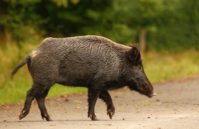 Rastplatsskyltar informerar om afrikansk svinpest
