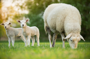 Antalet lantbruksdjur minskar