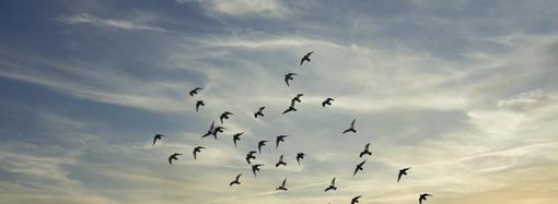 Flyttfåglar kan smitta tamfåglar