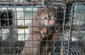 Pälsningen avslutad – inga nya fall av covid på mink