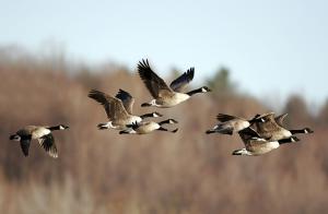 Fågelinfluensa hos vilda fåglar