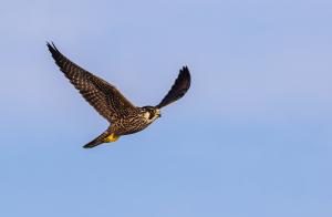 Fågelinfluensa påvisat hos vilda fåglar