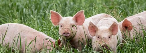 Nytt forskningsprojekt hjälper grisar vid avvänjning