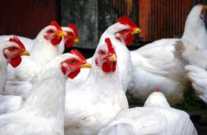 Omfattande arbete mot fågelinfluensa