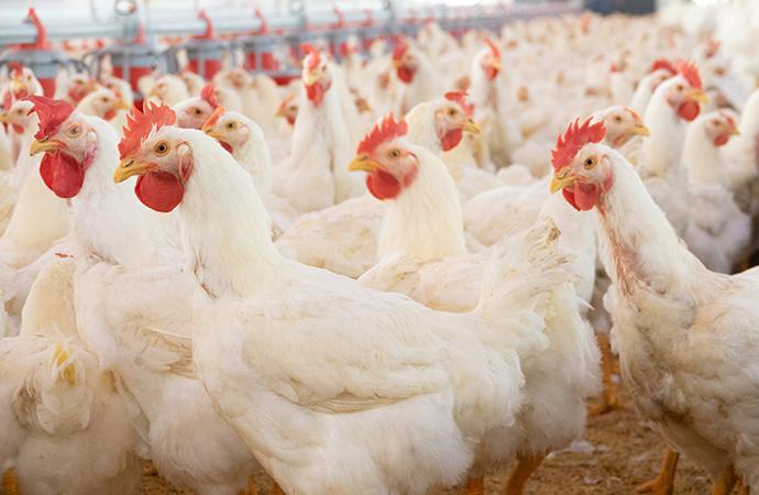 Fågelinfluensa på fjäderfäanläggning i Skåne