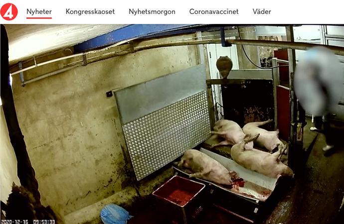 Uttalande från Sveriges Veterinärförbund med anledning av den film från ett slakteri som visas i TV4