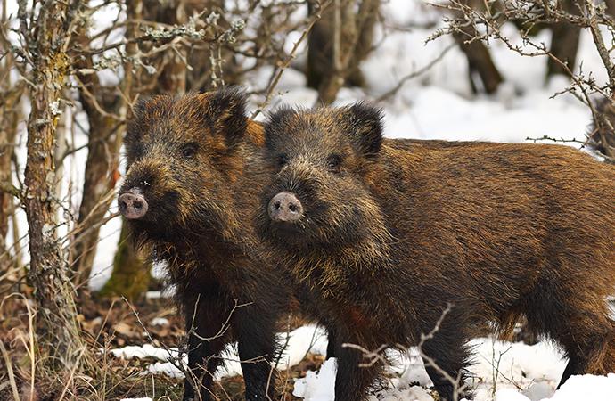 Två nya fall av trikiner hos vildsvin