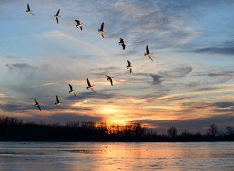 Fåglarnas vårflytt ger nya fall av fågelinfluensa