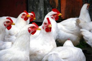 Viktigt att skydda tamfåglar mot fågelinfluensa