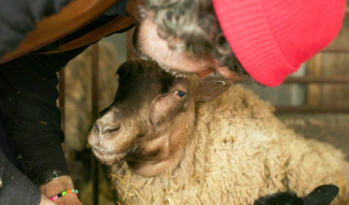 Sveriges Veterinärförbund kommenterar felaktig hantering av svårt sjukt djur i Sveriges Television