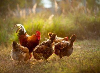 Sänkt skyddsnivå för fågelinfluensa