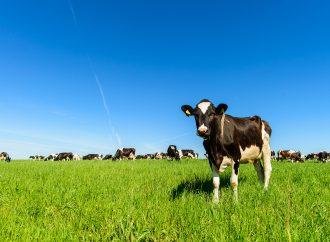 Antalet ekologiska mjölkkor ökade 2020