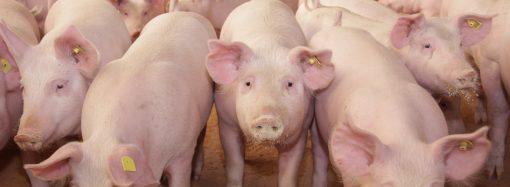 Högre risk för afrikansk svinpest i fyra län