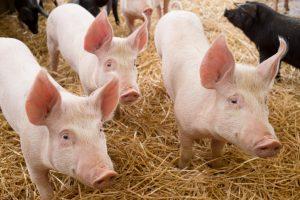 Bättre möjligheter att skydda svenska grisar och nötkreatur mot PRRS och paratuberkulos