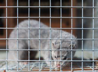 Minkbesättning positiv för SARS-CoV-2